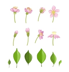Cherry Blossoming Stages vector image