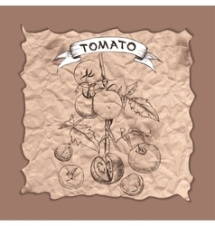sketch of tomatoes for design vector image vector image