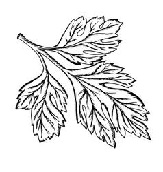a sprig of parsley drawn contour vector image vector image