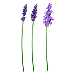 Three Beautiful Purple Lavender Flowers on White vector image