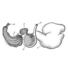 Sheep stomach vintage vector