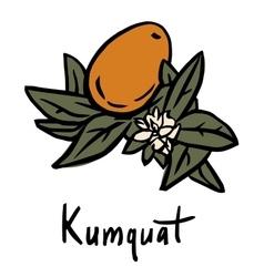 Kumquat fruit vector
