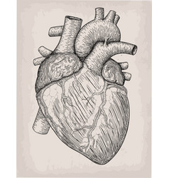Human heart hand drawn anatomical sketch vector