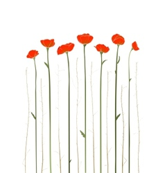 Beautiful red poppies vector