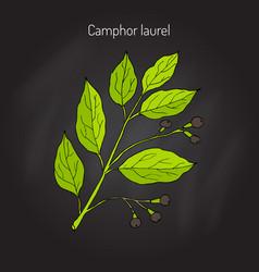 Camphor tree branch vector