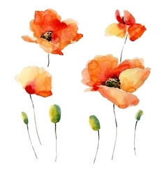Watercolor of a poppy on a white vector