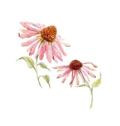 Watercolor pink echinacea flower vector