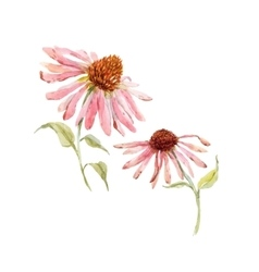 Watercolor pink echinacea flower vector