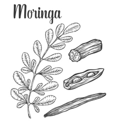 Moringa leaves and seed vintage sketch vector image