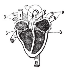 Heart and its chambers vintage vector