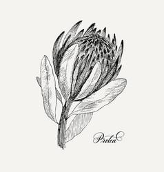 Vintage botanical flower protea vector
