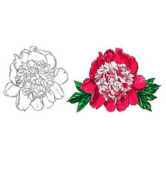 Hand drawn peony flower set on vector