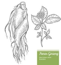 Panax Ginseng Root Plant vector image