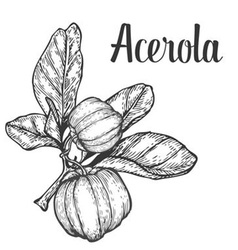 Acerola Plant vector image vector image