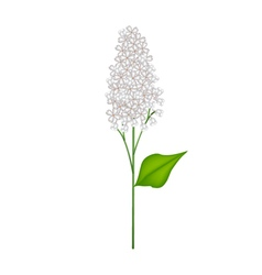 White Lilac or Syringa Vulgaris on White vector image