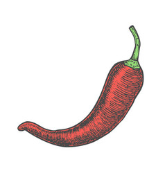 Hand drawn of chili pepper sketch style doodle vector