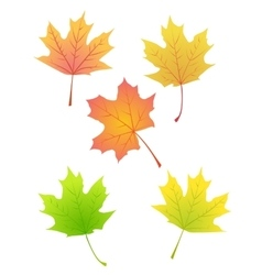maple autumn leaves vector image vector image