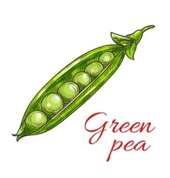 Green pea pod vegetable sketch icon vector