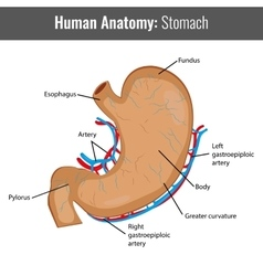 Human stomach detailed anatomy medical vector