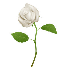 a beautiful white rose vector image