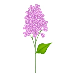 Purple Lilac or Syringa Vulgaris on White vector image