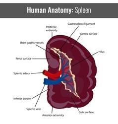 Human spleen detailed anatomy medical vector
