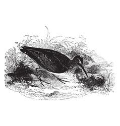 Broad billed sandpiper vintage vector