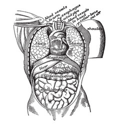 Organs of the body cavity vintage vector