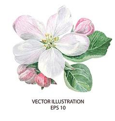 Apple blossom flowers vector