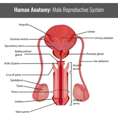 Male reproductive system detailed anatomy vector image
