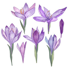Crocus flowers isolated on white for romantic and vector