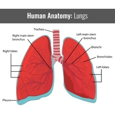 Human lungs detailed anatomy medical vector