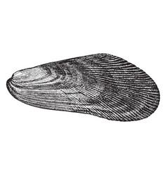 Mussel vintage vector