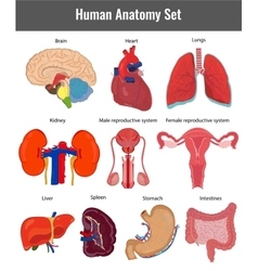 Human anatomy set human organs detailed vector