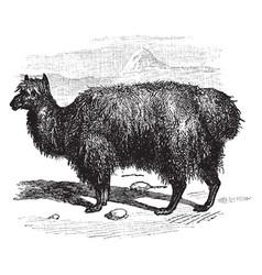 Alpaca vintage vector