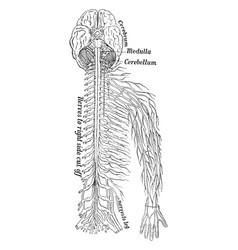 Nervous system vintage vector