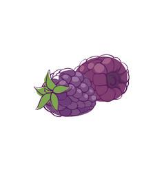 ripe blackberry isolated icon vector image