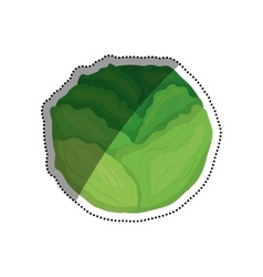 Fresh lettuce vegetable vector image