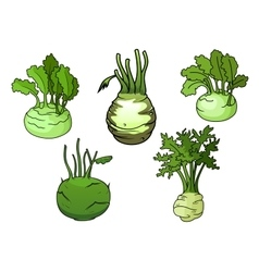 Fresh isolated kohlrabi cabbage vegetables vector