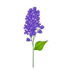 Blue Lilac or Syringa Vulgaris on White Background vector image vector image