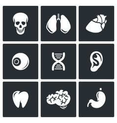 Internal organs icons vector