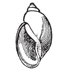 Physa heterostropha vintage vector
