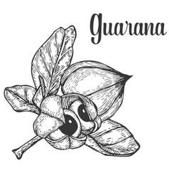 Guarana Plant vector image vector image