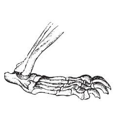 Carnivore foot vintage vector