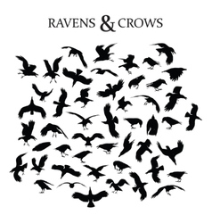 Ravens and Crows vector image vector image