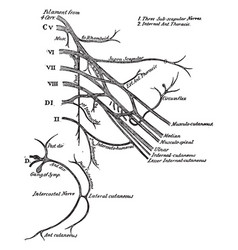 The brachial plexus of the spinal nerves vintage vector