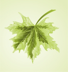 Maple leaf acer platanoides drummondii vector