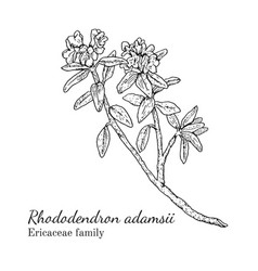 Ink rhododendron adamsii hand drawn sketch vector