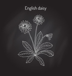 common english or lawn daisy bellis perennis vector image