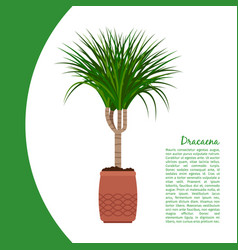 dracaena plant in pot banner vector image vector image